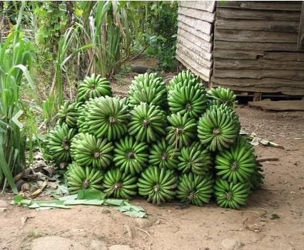 Bananes plantains de Nalynguyo