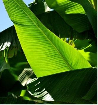 Feuilles de bananier plantain chez Nalynguyo