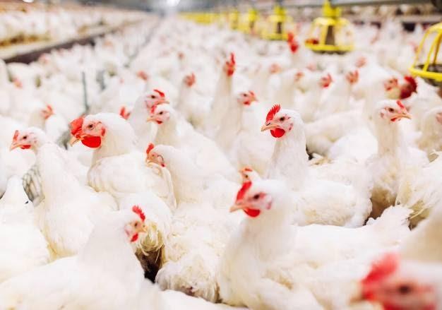 Production en grande quantité de poulets de chair à la ferme Poulet Nama