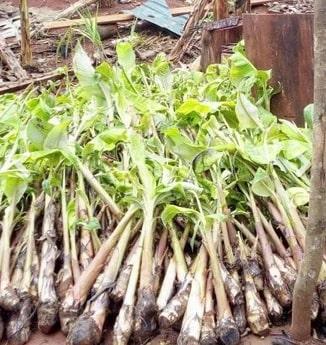 Rejet plantain de Nalynguyo